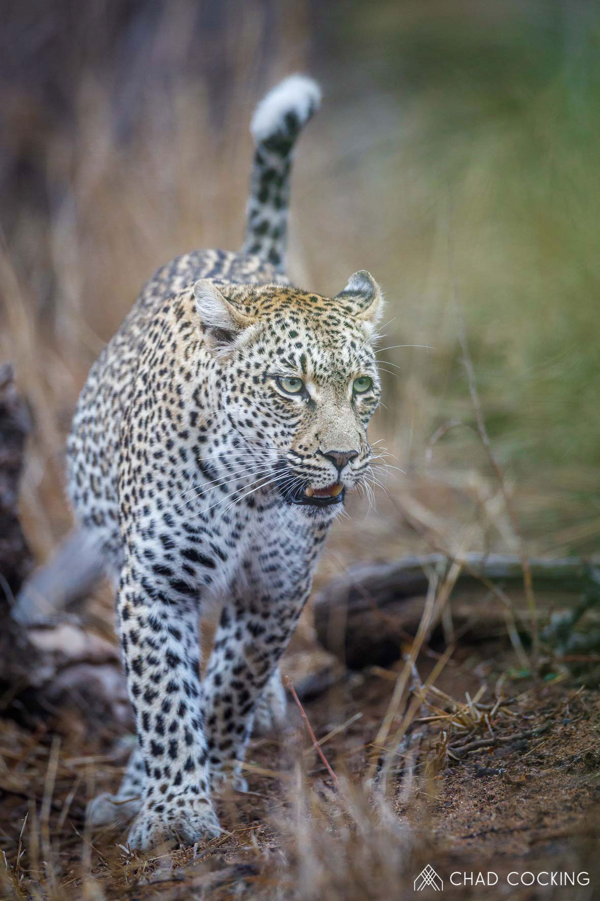 Tanda Tula - Nyeleti female leopard on the prowl in the Greater Kruger, South Africa