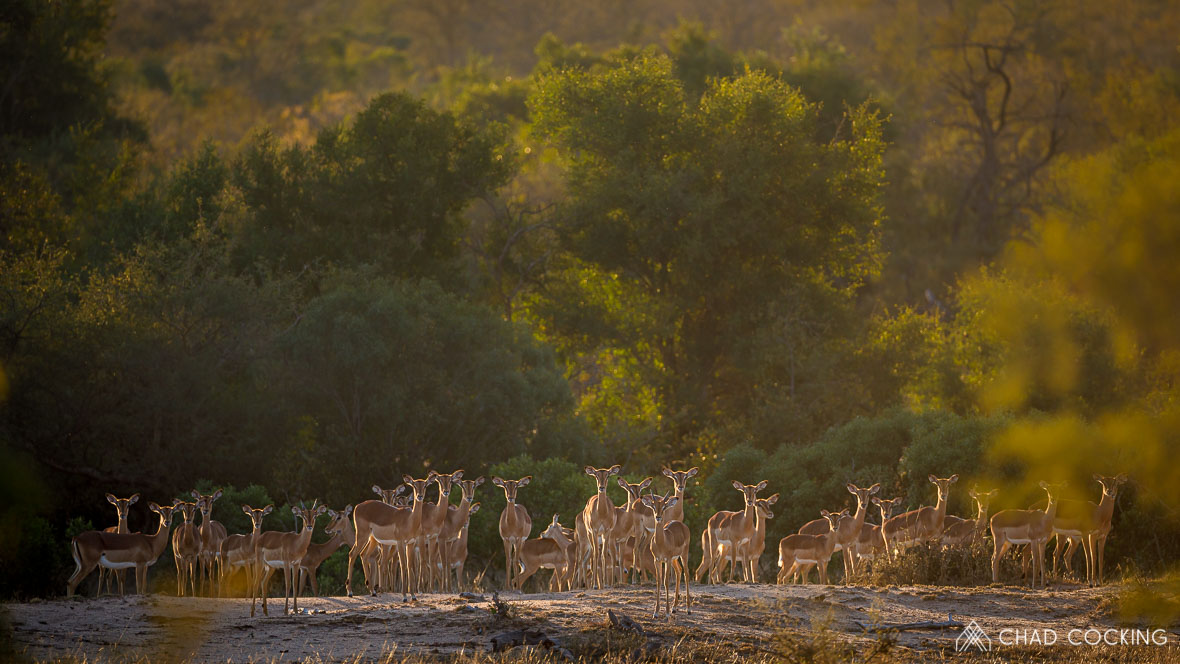 Photo credit: Chad Cocking - A herd of curious Impala at Tanda Tula in the Timbavati, South Africa