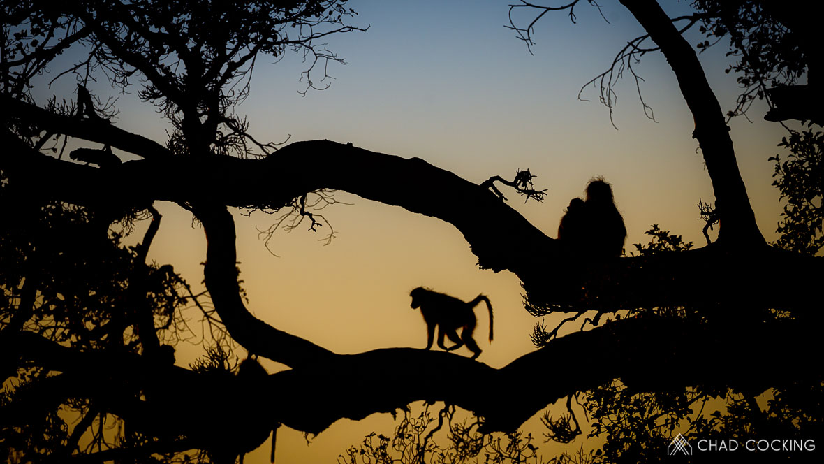 Photo credit: Chad Cocking - Baboons perched in a tree silhouetted against the sunrise at Tanda Tula in the Timbavati, South Africa