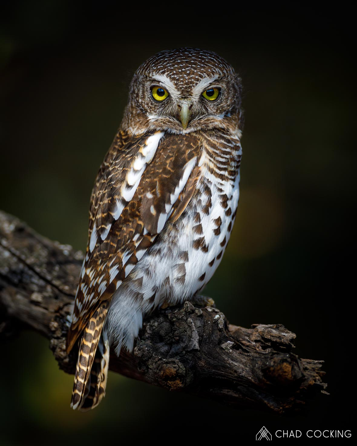 Barred Owlet at Tanda Tula in the Timbavati Game Reserve, part of the Greater Kruger National Park, South Africa - Photo credit: Chad Cocking