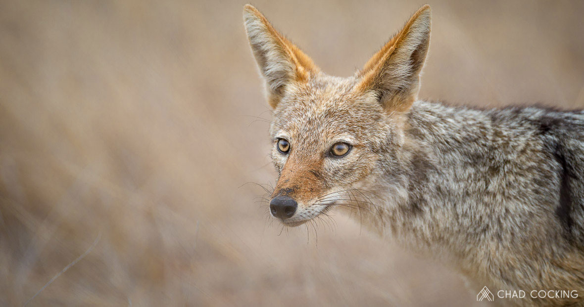Tanda Tula - black-backed jackal in the Greater Kruger, South Africa