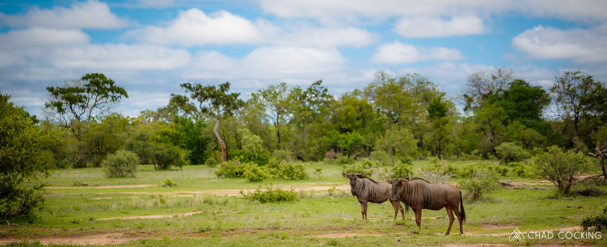 Tanda Tula - wildebeest enjoying the greenery