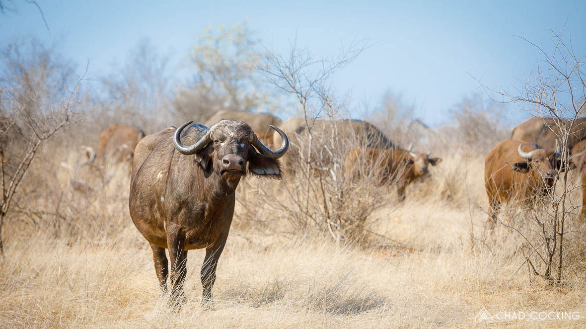Tanda Tula - breeding buffalo in the Greater Kruger, South Africa