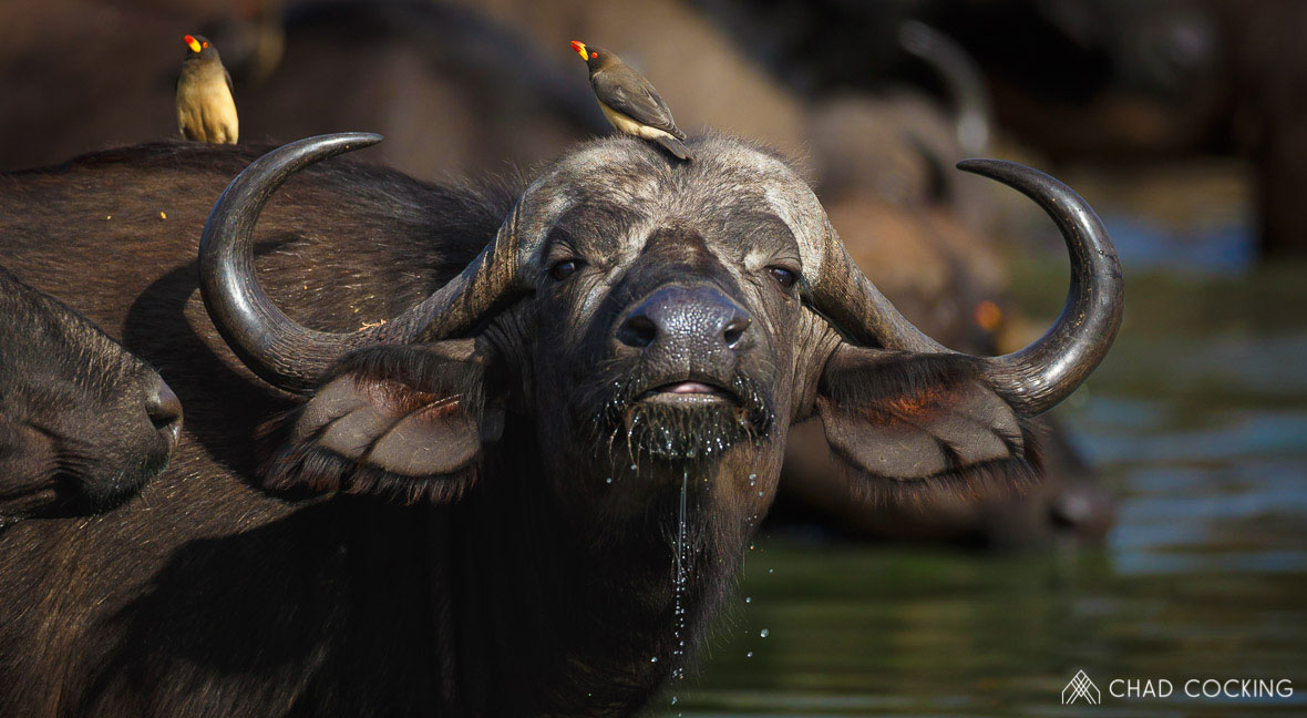 Tanda Tula - a buffalo drinking water in the Greater Kruger