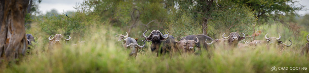 Tanda Tula - Buffalo herd in the Greater Kruger, South Africa