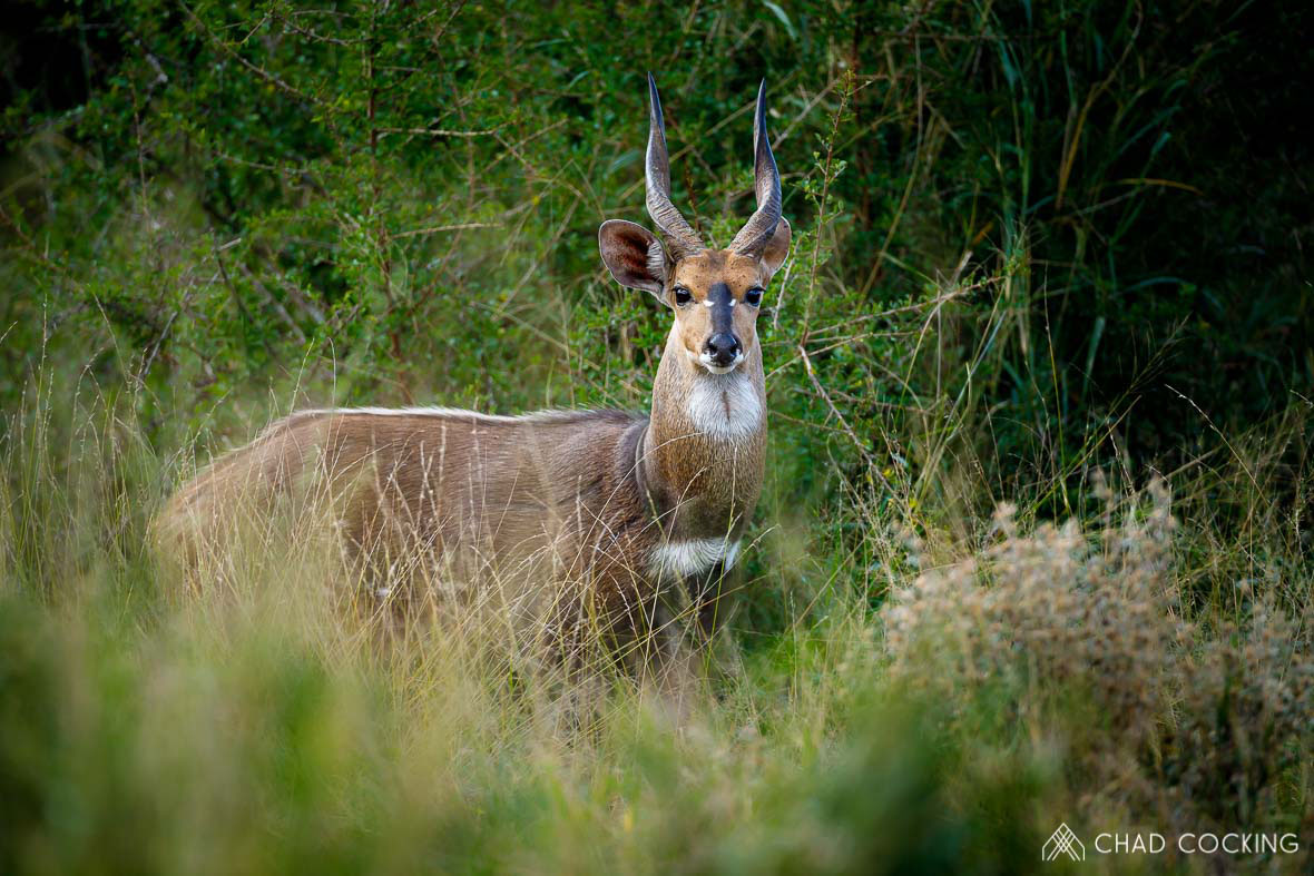 Tanda Tula - bushbuck ram on safari in the Greater Kruger