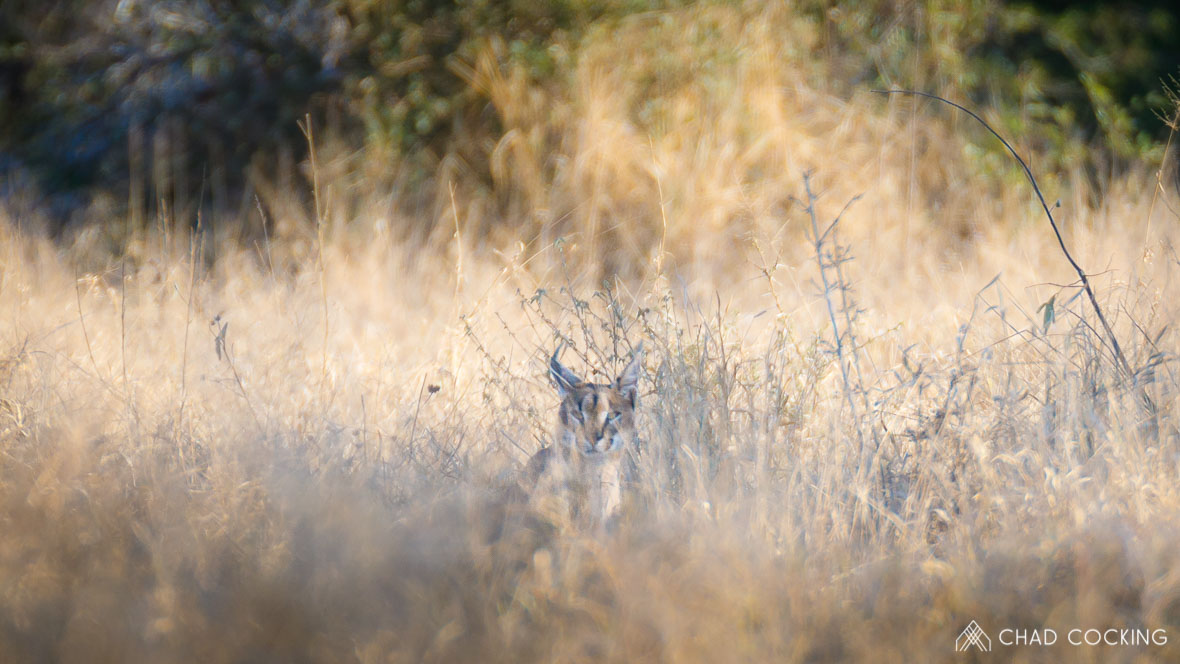 Caracal in the grass at Tanda Tula in the Timbavati Game Reserve, part of the Greater Kruger National Park, South Africa - Photo credit: Chad Cocking