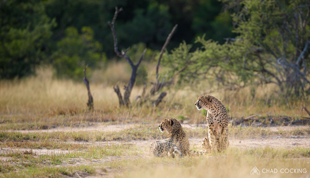 Tanda Tula - cheetah brothers on safari in the Timbavati