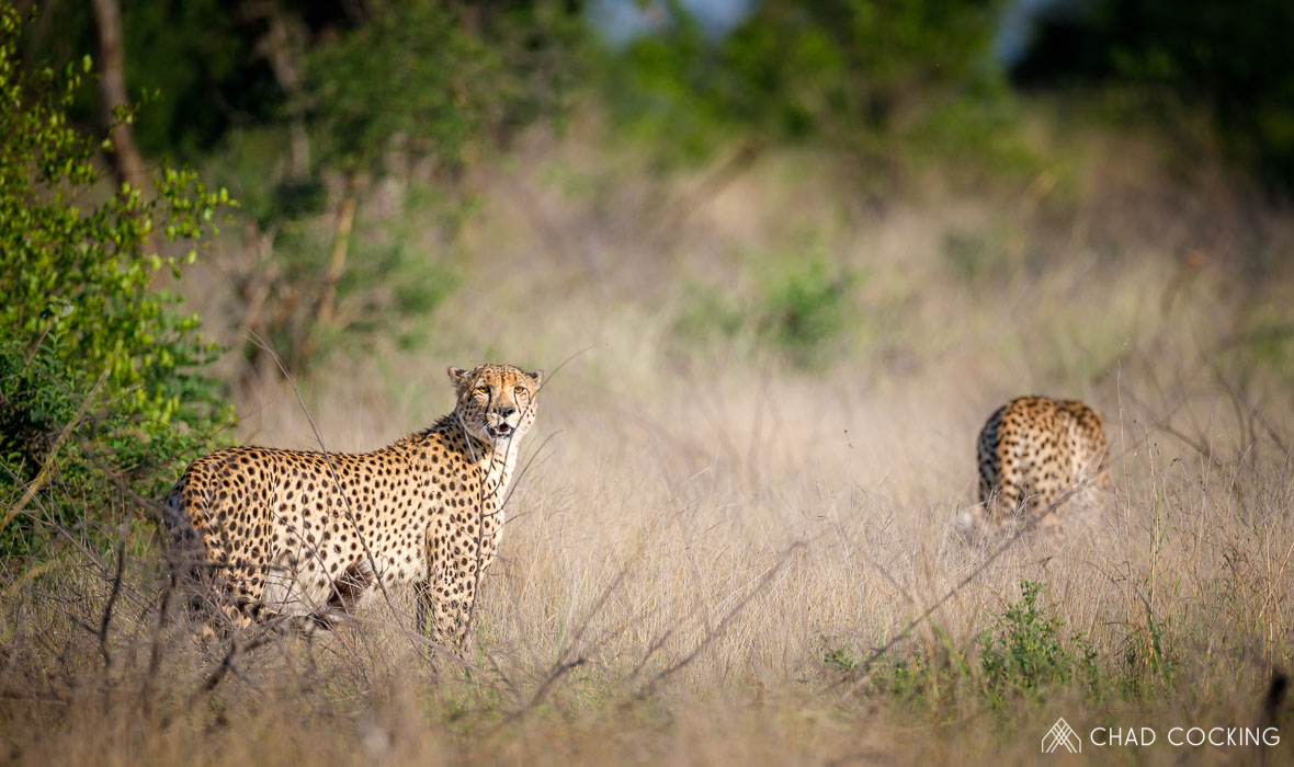 Tanda Tula - cheetah brothers on the lookout, Tanda Tula, Timbavati