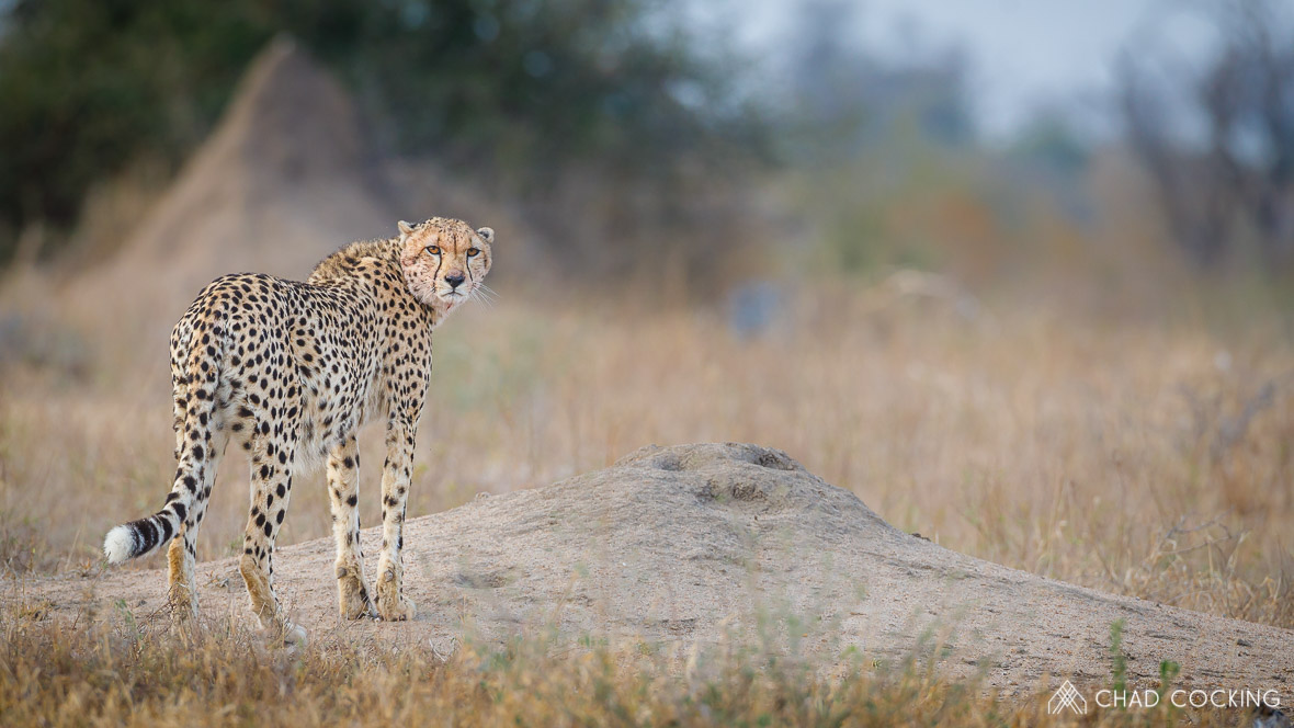 Cheetah mother at Tanda Tula in the Timbavati Game Reserve, part of the Greater Kruger National Park, South Africa - Photo credit: Chad Cocking