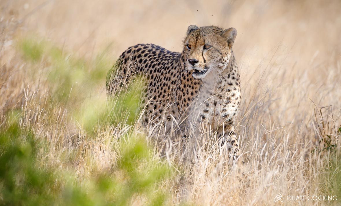 Tanda Tula - cheetahs on a photographic safari
