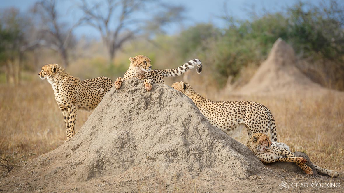 Photo credit: Chad Cocking - Cheetahs on a termite mound at Tanda Tula in the Timbavati Game Reserve, South Africa.