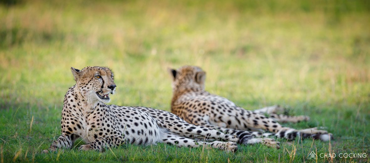 Tanda Tula - cheetahs resting at Tanda Tula, Greater Kruger, South Africa