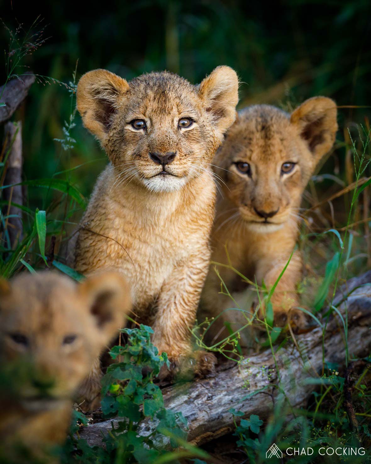 Tanda Tula - curious lion cubs on safari in the Greater Kruger