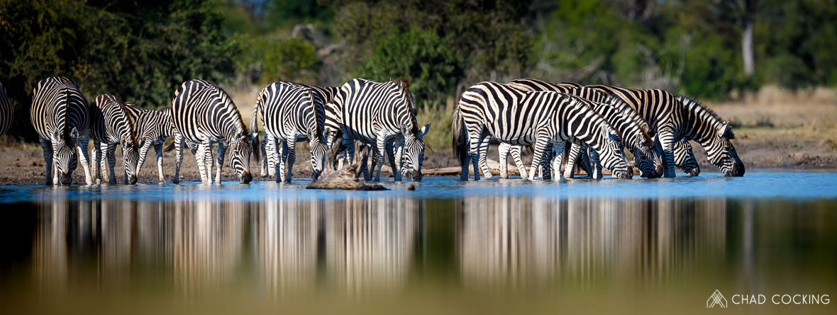 Tanda Tula - zebras drinking in the best safari destination, South Africa