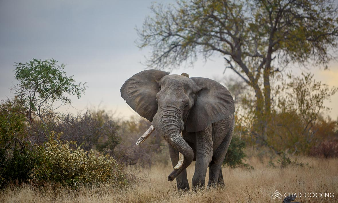 Photo credit: Chad Cocking | A Male Bull Elephant in Musth at Tanda Tula in the Timbavati Game Reserve, South Africa.
