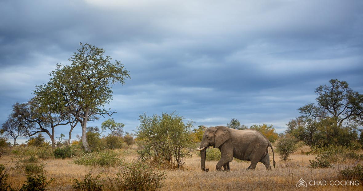 Tanda Tula - elephant bull on a cold cloudy day in the Timbavati