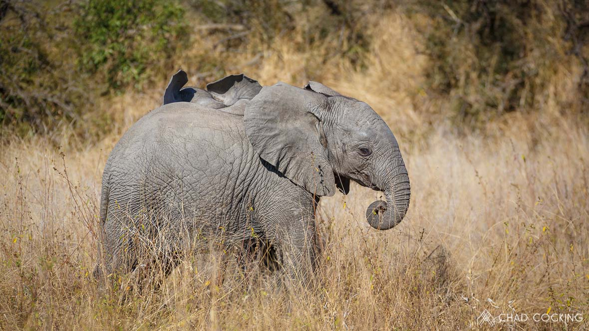 Photo credit: Chad Cocking | A young elephant calf at Tanda Tula in the Timbavati Game Reserve, South Africa.
