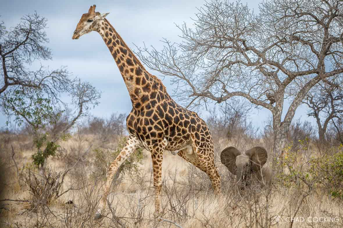 Tanda Tula - elephant calf chasing giraffe in the Greater Kruger, South Africa