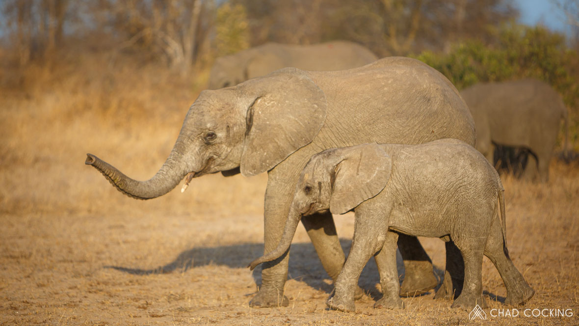 Elephant calves at Tanda Tula in the Timbavati Game Reserve, part of the Greater Kruger National Park, South Africa - Photo credit: Chad Cocking