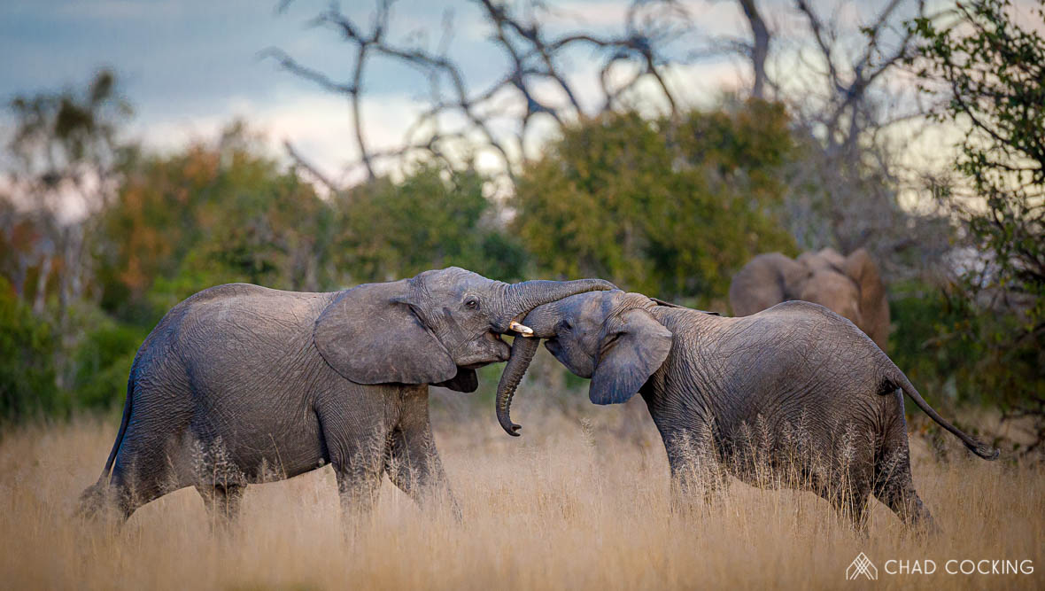 Tanda Tula - elephant calves playing together on the best safari in the Timbavati
