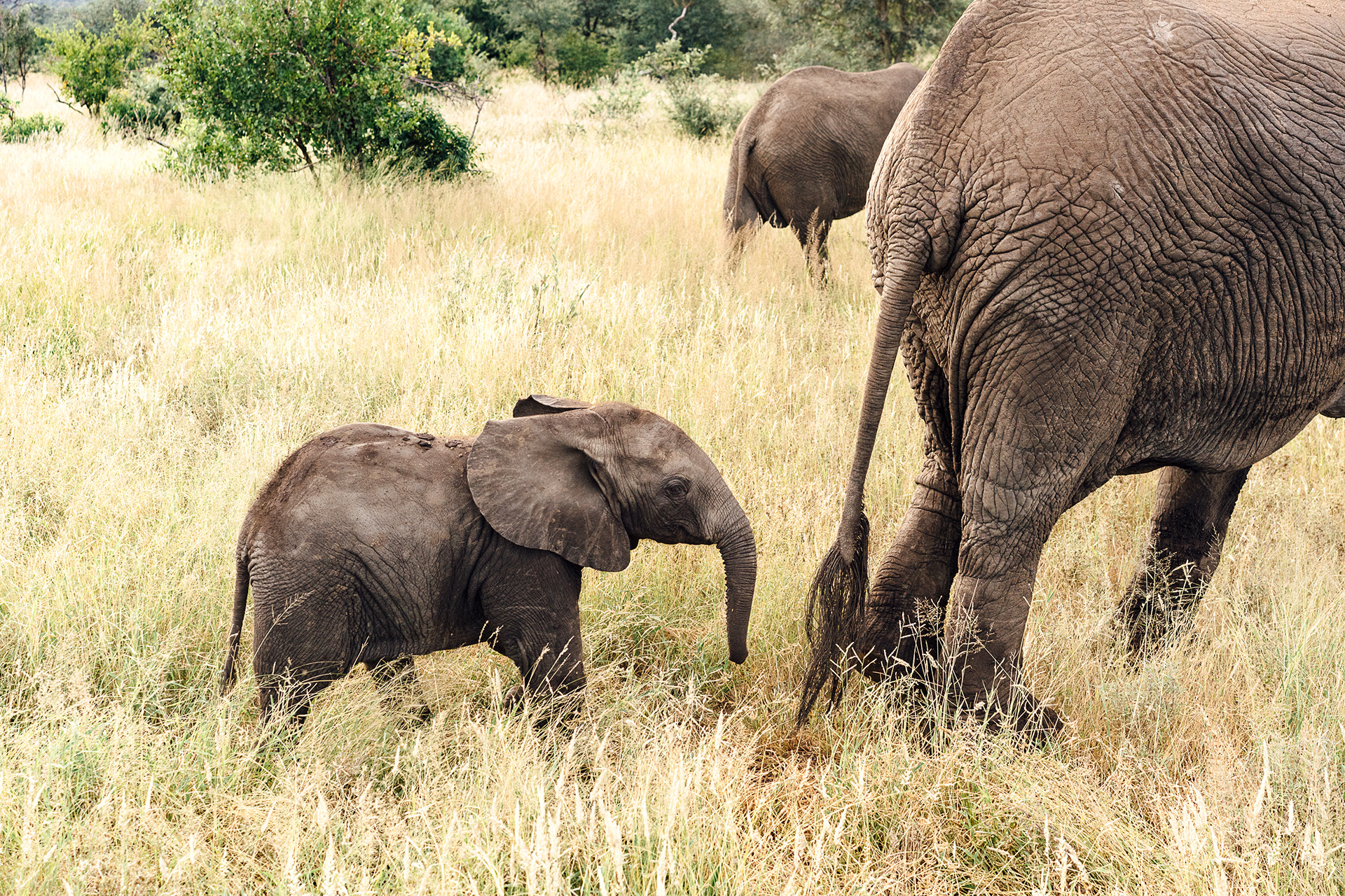 Tanda Tula - elephant and calf in South Africa on safari