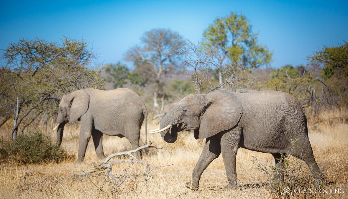 Tanda Tula - elephant herd in the Timbavati