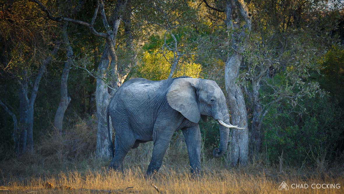 Photo credit: Chad Cocking - An elephant in the Woodland at Tanda Tula in the Timbavati, South Africa