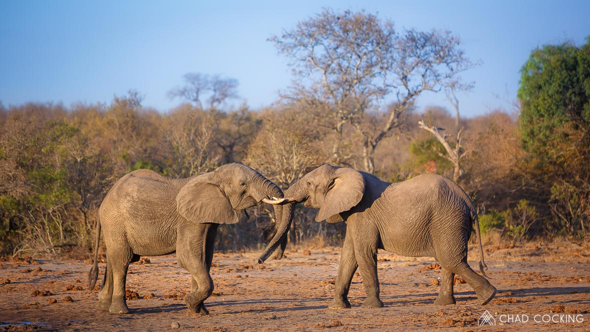 Elephants at Tanda Tula in the Timbavati Game Reserve, part of the Greater Kruger National Park, South Africa - Photo credit: Chad Cocking