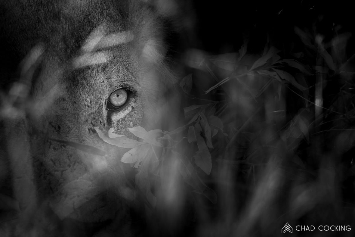Tanda Tula - eye of a Nharhu male lion in the Greater Kruger, South Africa