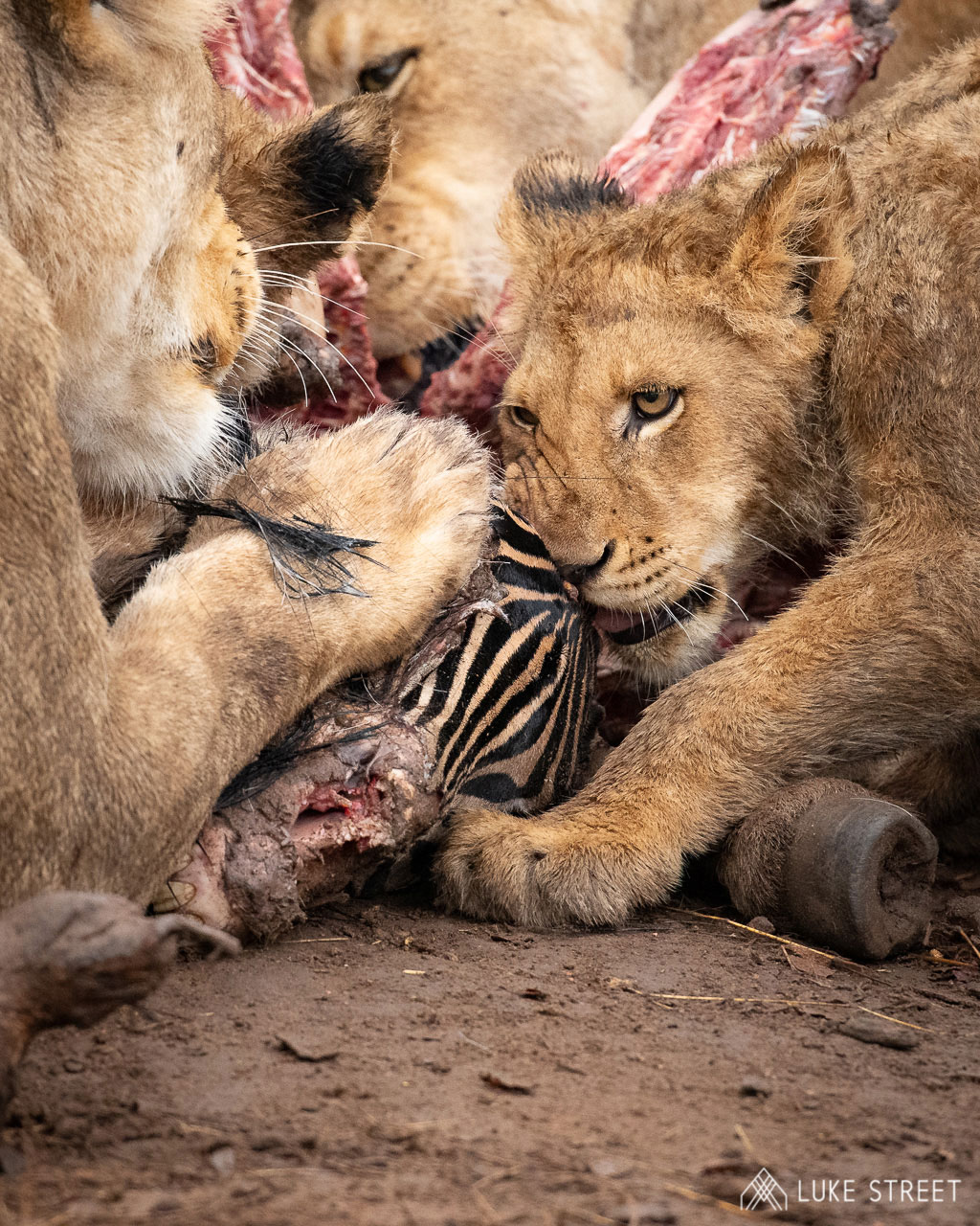 Tanda Tula - lions feasting on a zebra in the Greater Kruger