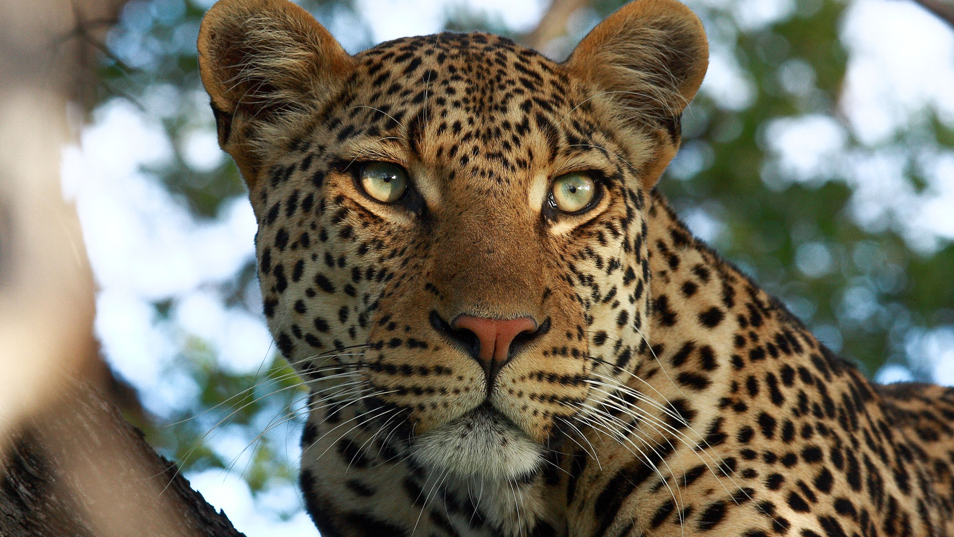 Tanda Tula - Shnoppie the leopard in South Africa
