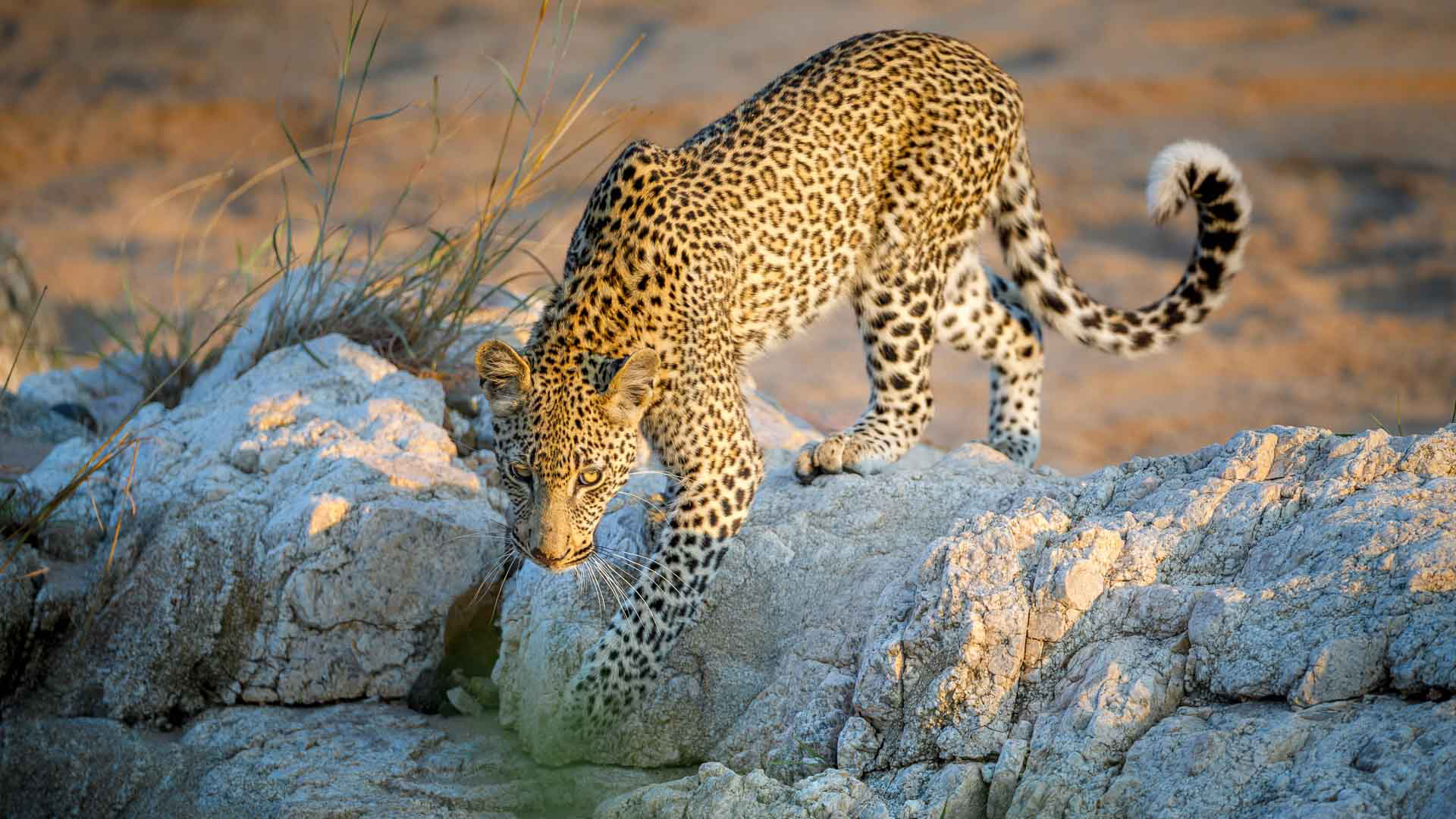 Tanda Tula - leopard spotted in the Greater Kruger