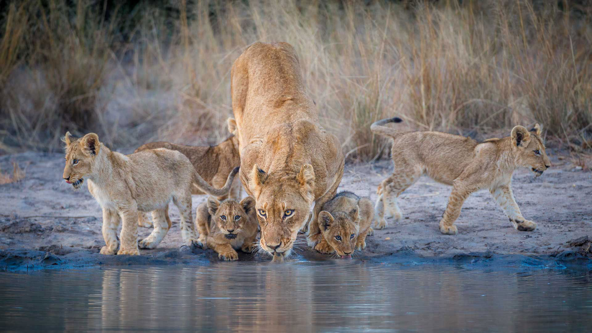 Tanda Tula - Lioness and cubs drinking