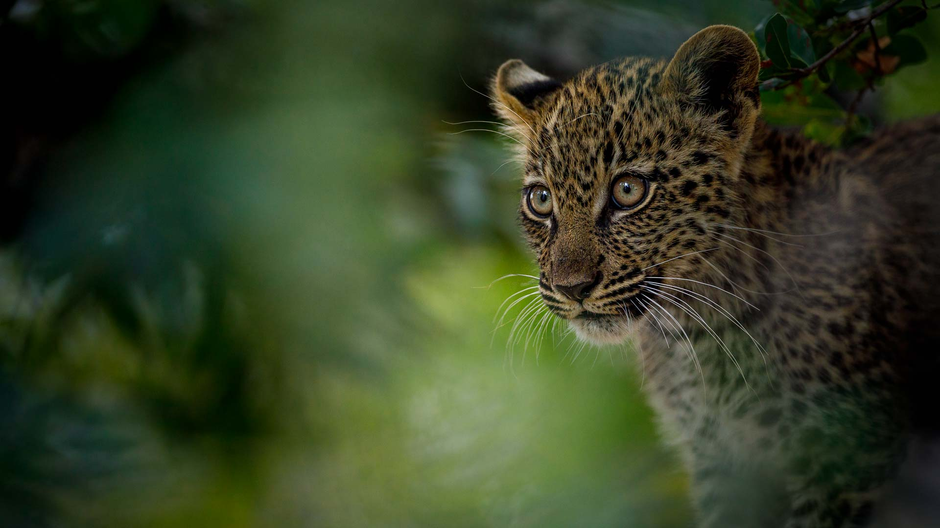 Tanda Tula - leopard on safari in the Greater Kruger, South Africa