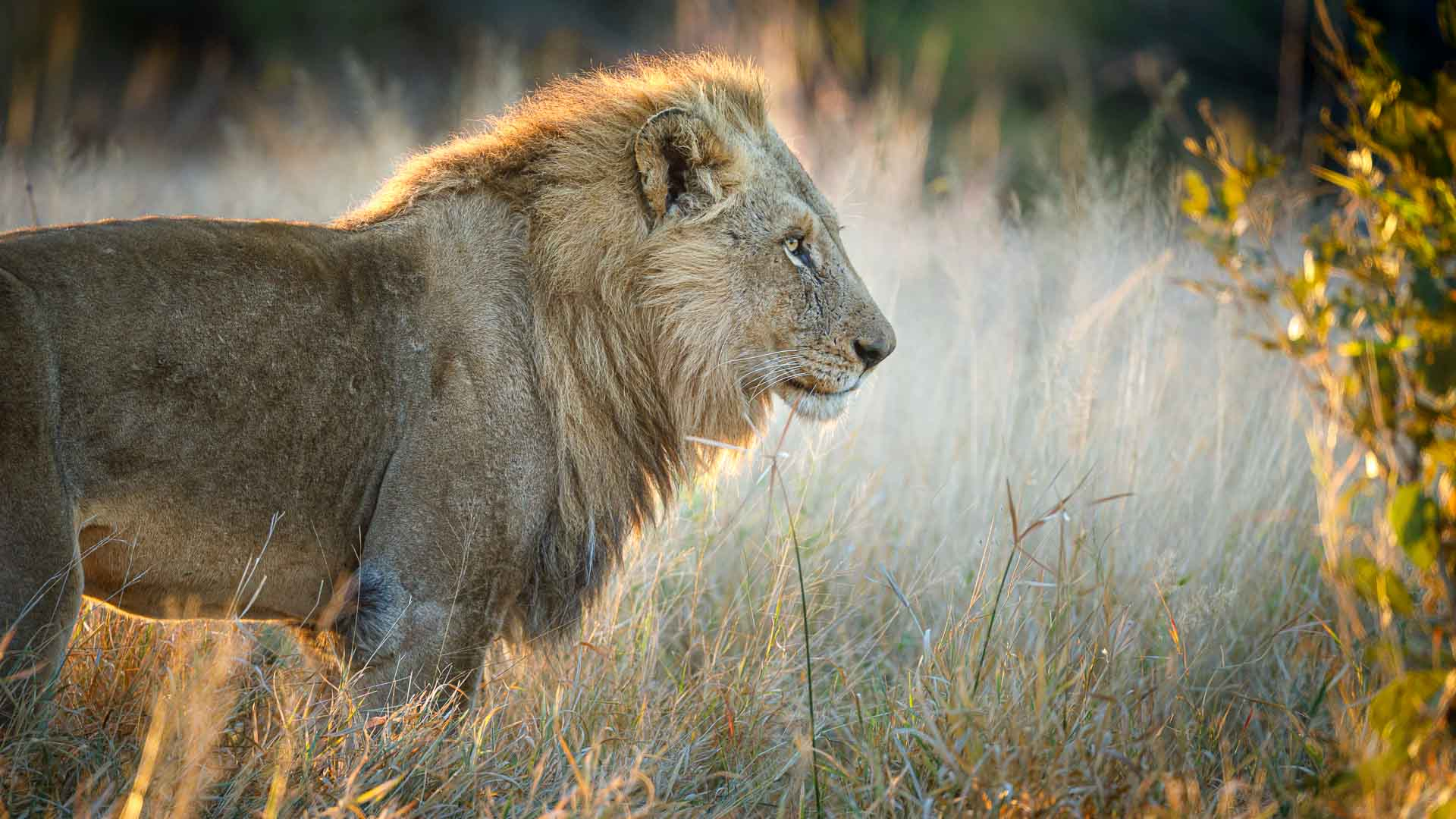 Tanda Tula - male lion on a photographic safari
