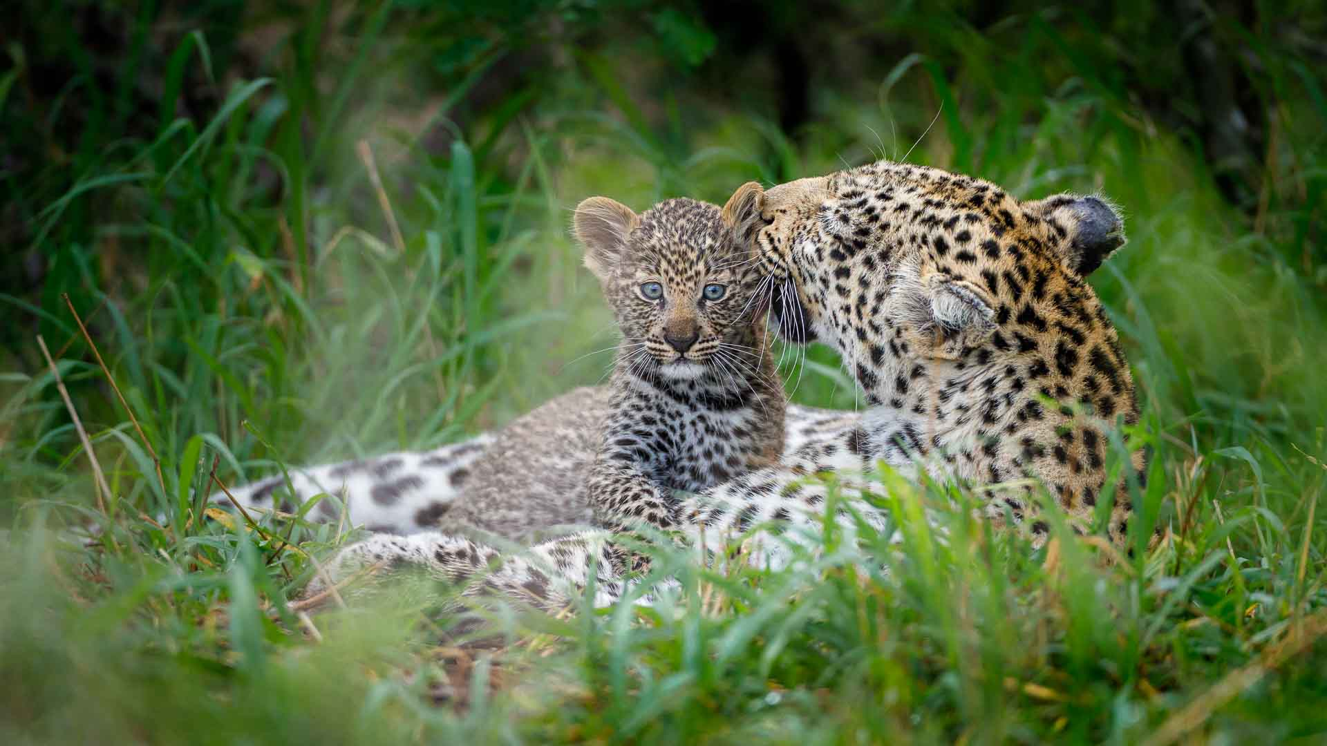 Tanda Tula - leopard mother and cub at Tanda Tula, Timbavati, Greater Kruger