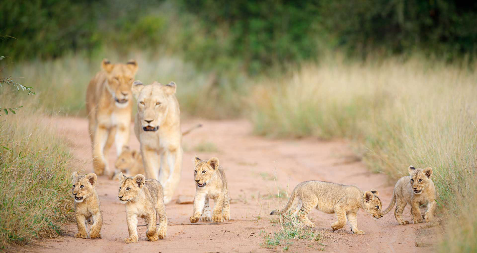 Tanda Tula - lioness' and cubs on safari in the Greater Kruger