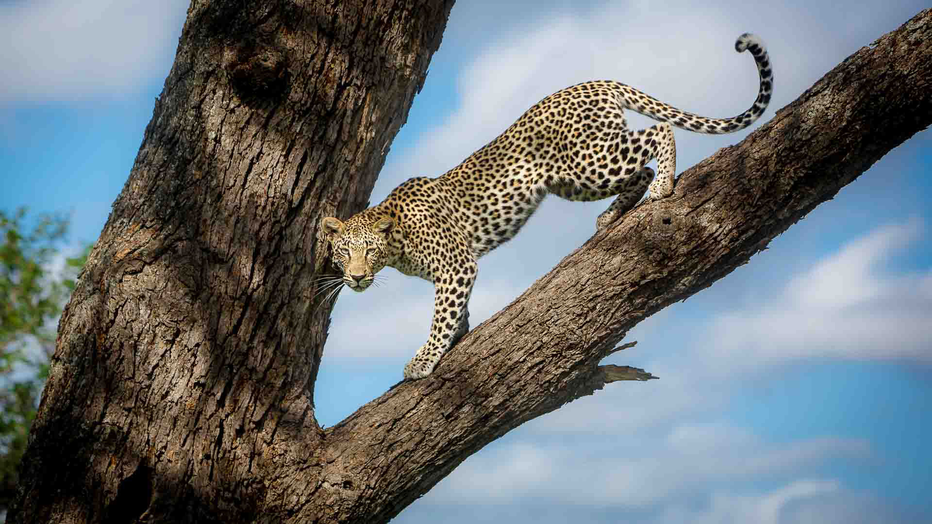 Tanda Tula - N'weti female leopardess in the Greater Kruger