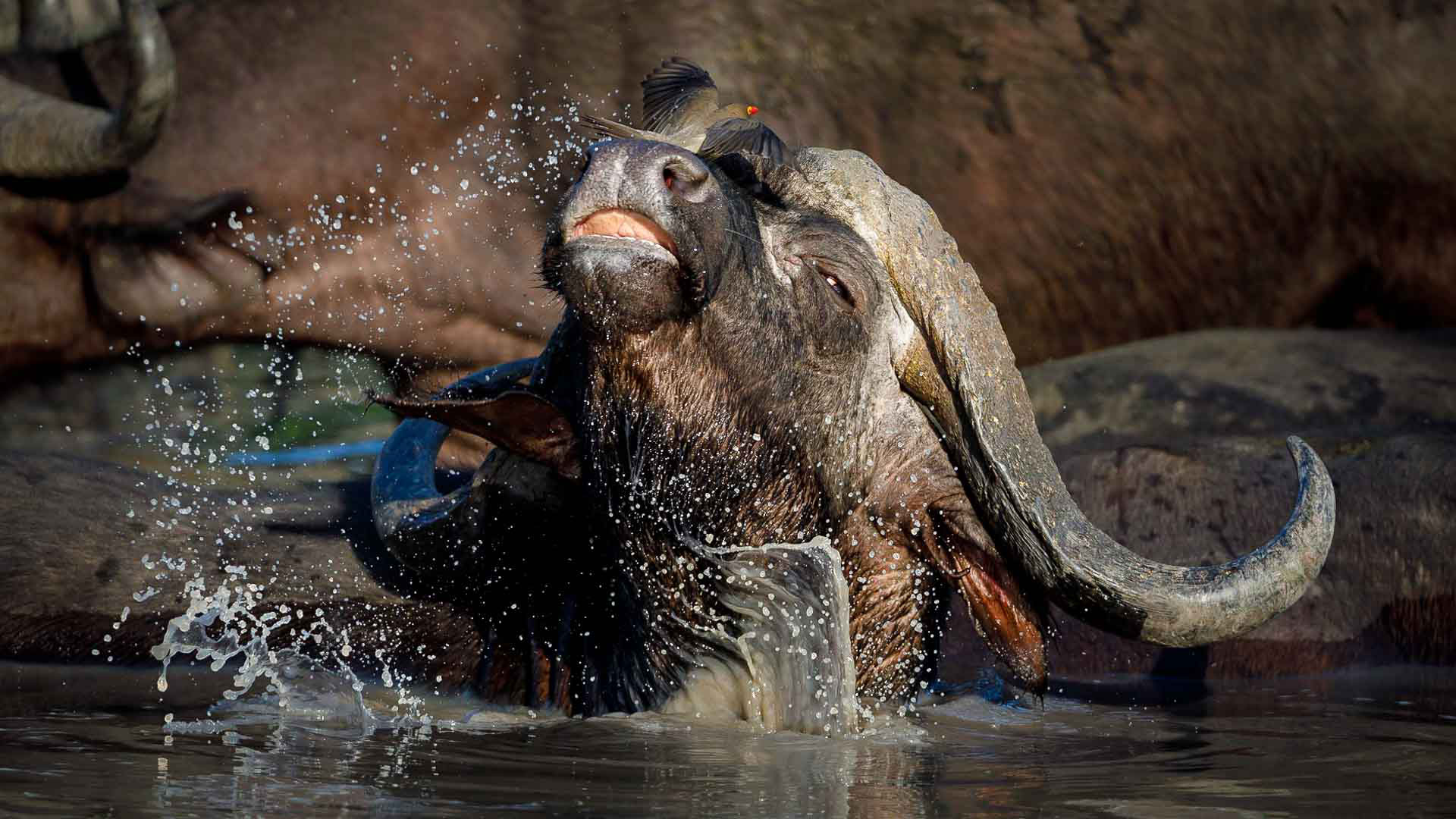Tanda Tula - buffalo taking in the bath in the Greater Kruger, South Africa