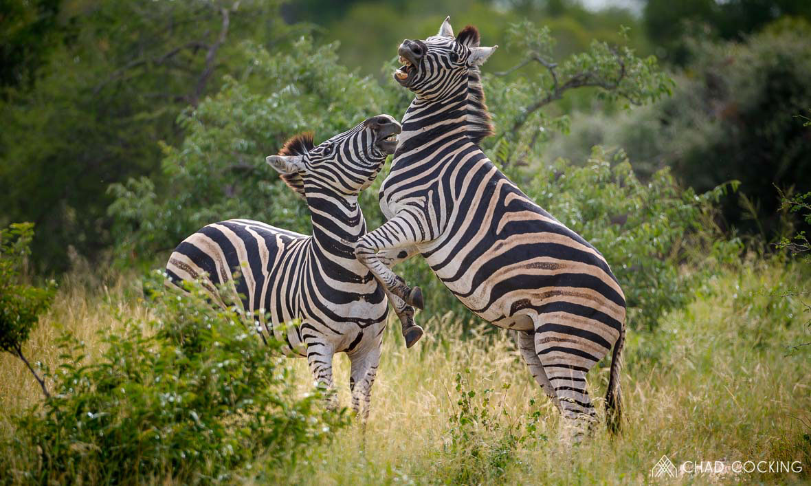 Tanda Tula - fighting zebras in the Greater Kruger