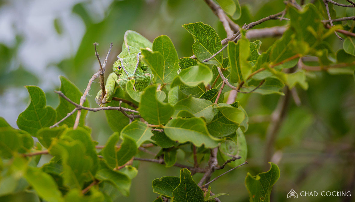 Tanda Tula - flap-necked chameleon in the Greater Kruger
