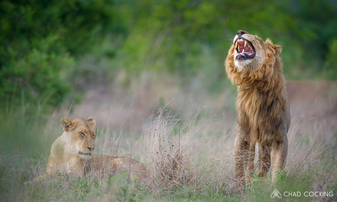 Tanda Tula - Male lions grimacing