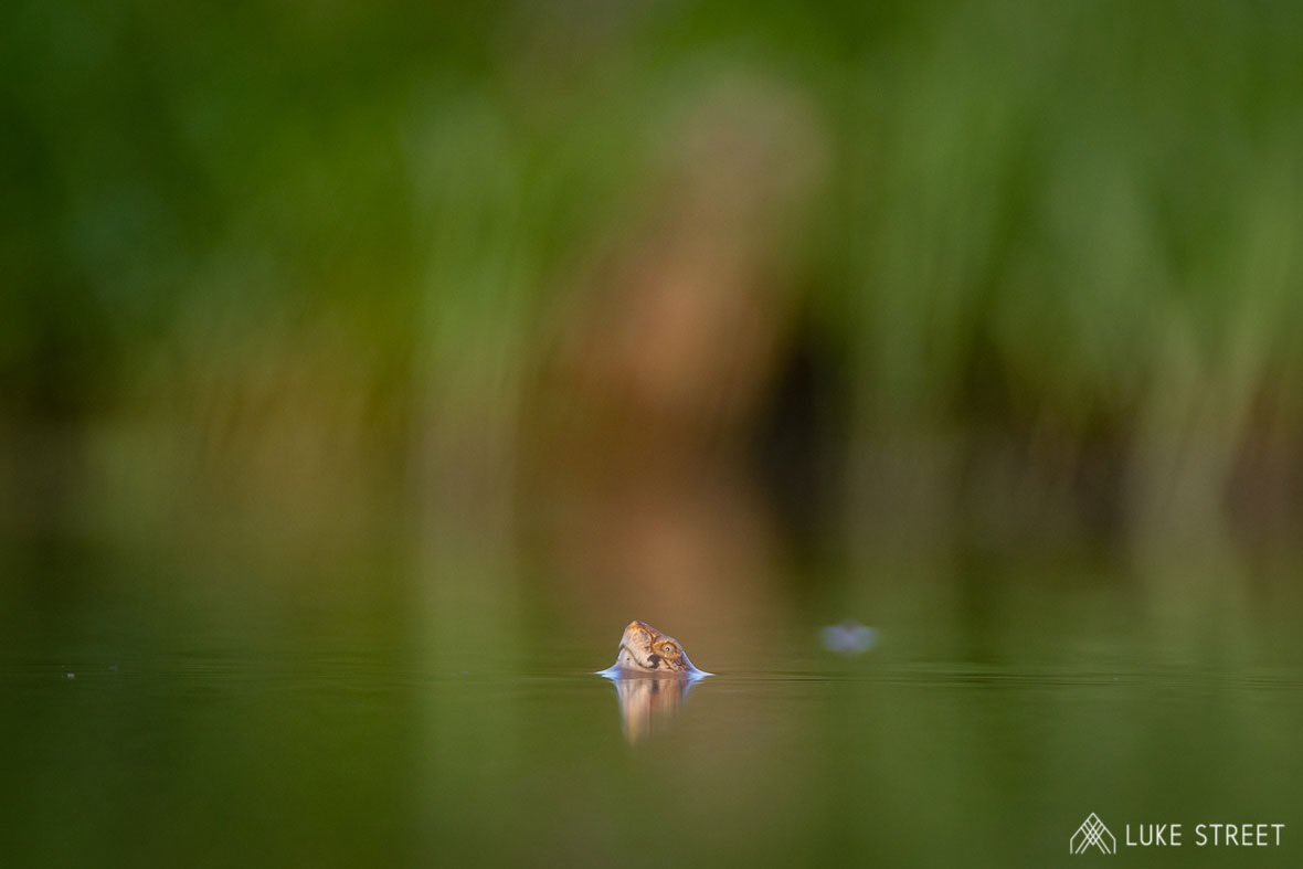 Tanda Tula - frog peeking out of the water in the Greater Kruger