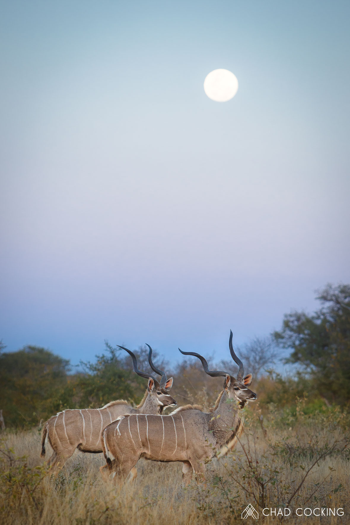 Tanda Tula - kudus in the full moon on safari