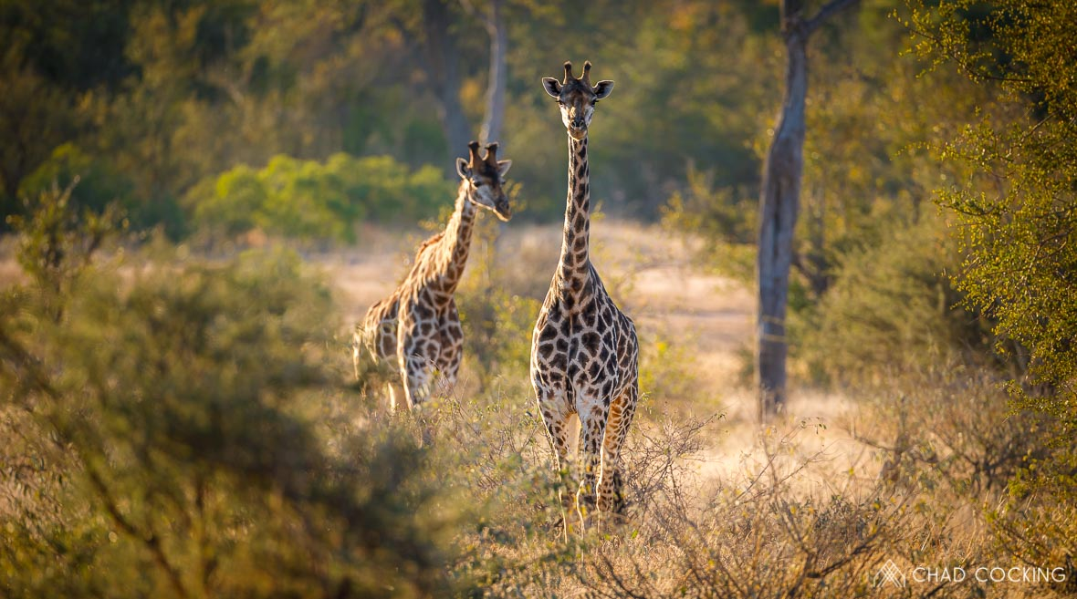 Tanda Tula - giraffes on the best tented safari in South Africa
