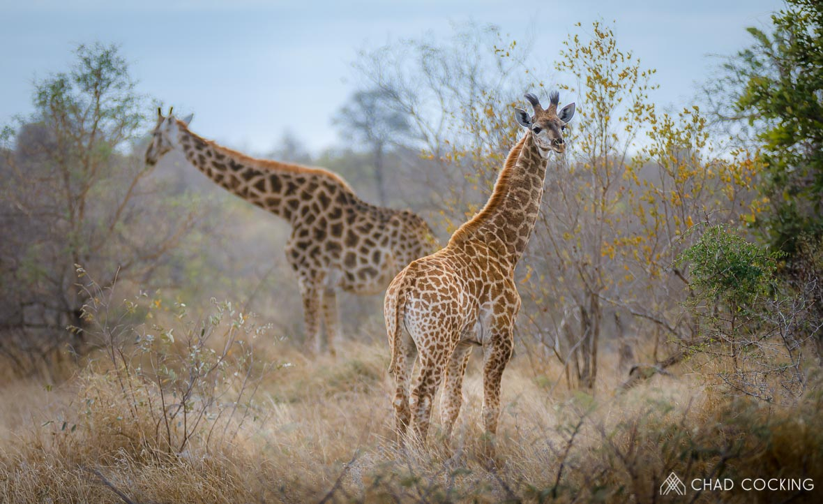 A young Giraffe calf at Tanda Tula in the Timbavati Game Reserve, part of the Greater Kruger National Park, South Africa - Photo credit: Chad Cocking