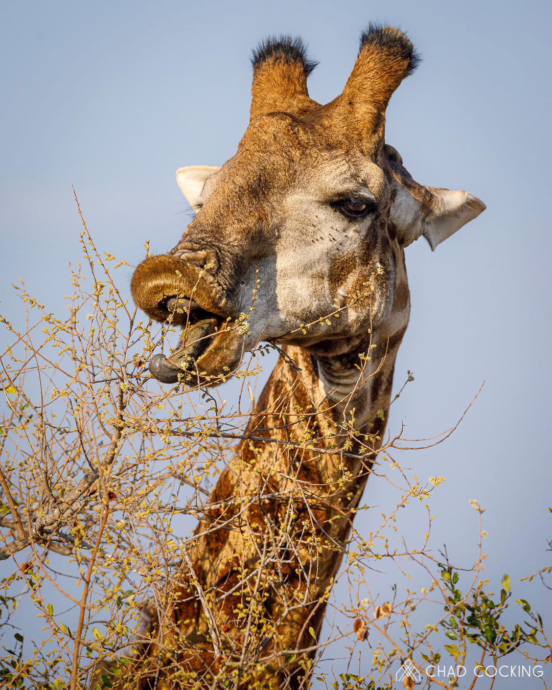 Tanda Tula - giraffe eating in the Greater Kruger, South Africa