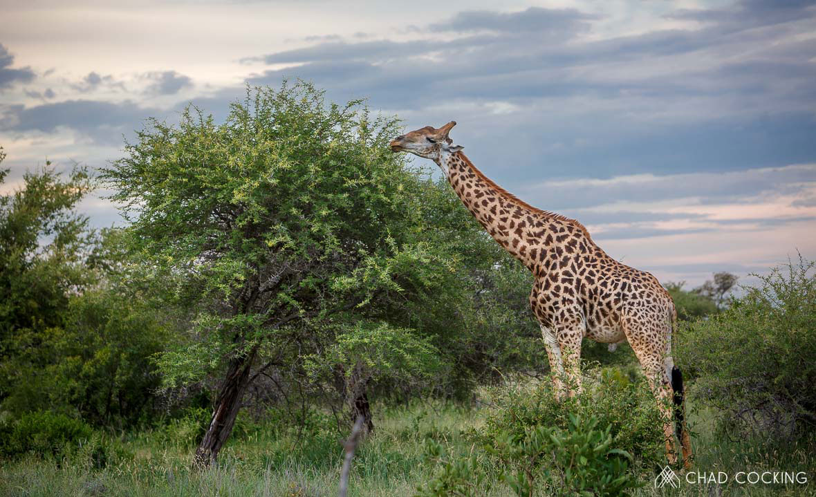 Tanda Tula - Giraffe feeding in the Greater Kruger