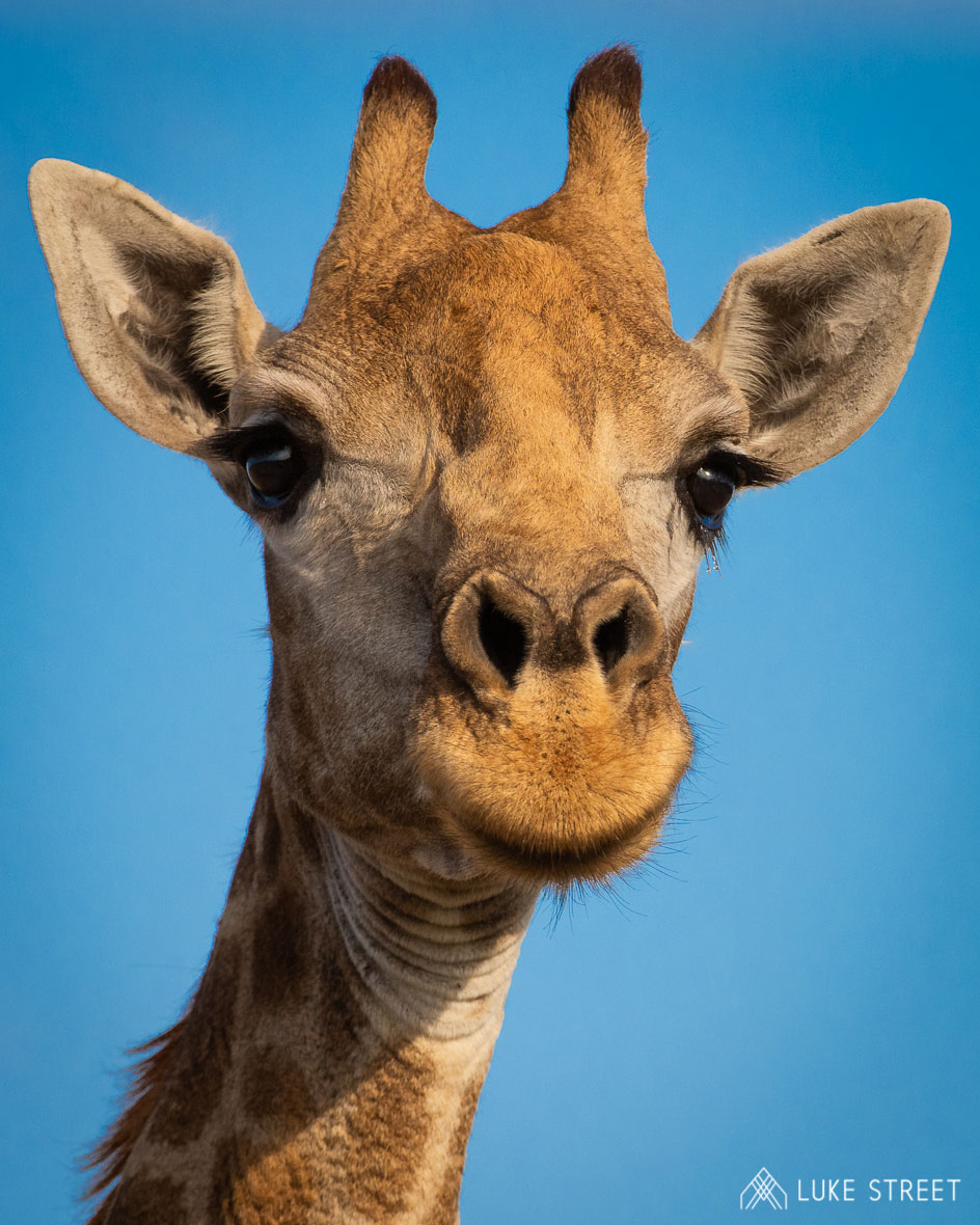 Tanda Tula - close up of a giraffe in the Greater Kruger, South Africa